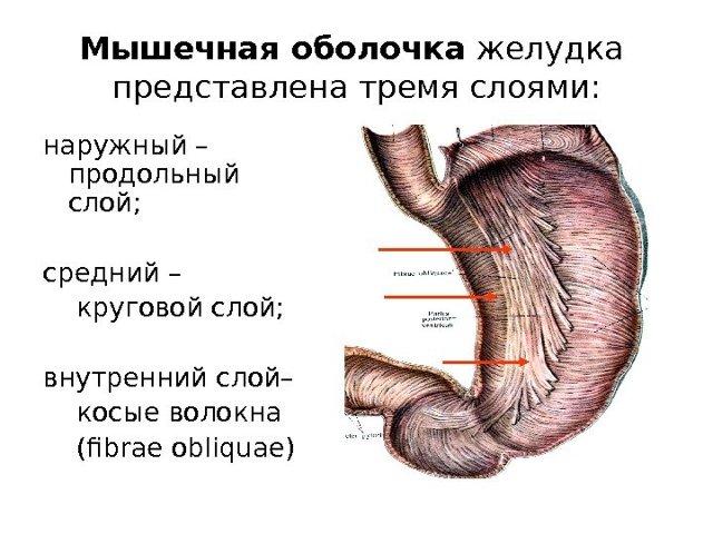Спазмы в желудке: причины, проявления, диагностика, лечение,