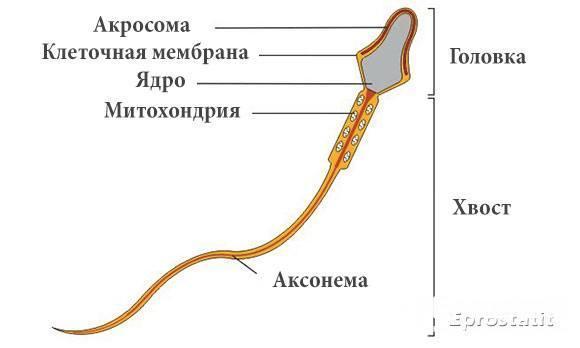 Тератозооспермия: лечение, причины, ЭКО, тератозооспермия и беременность